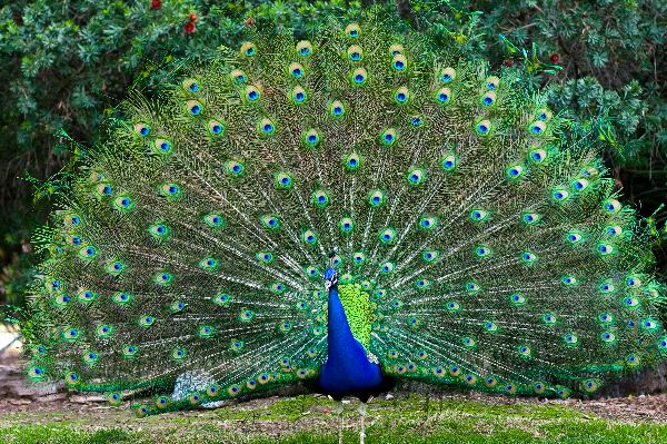 Peacock Pics, Animal Collection