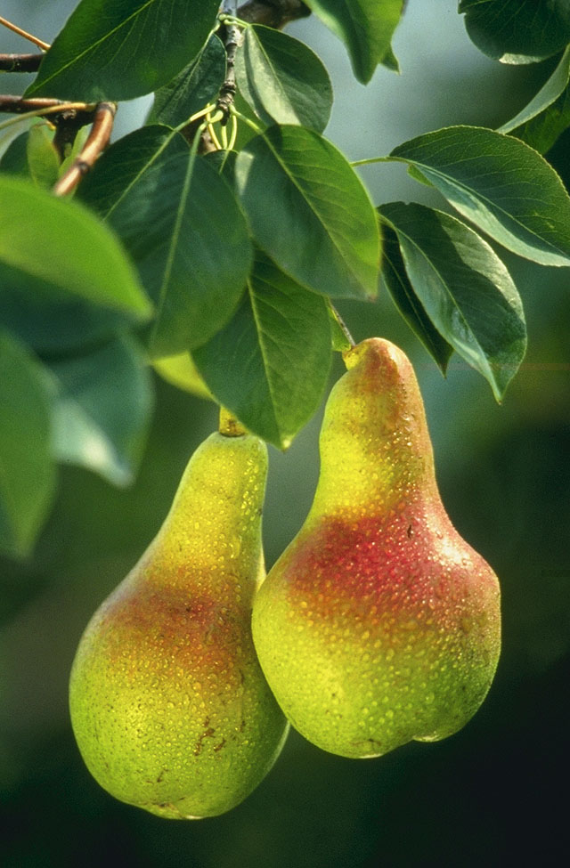 HD Quality Wallpaper | Collection: Food, 640x975 Pear