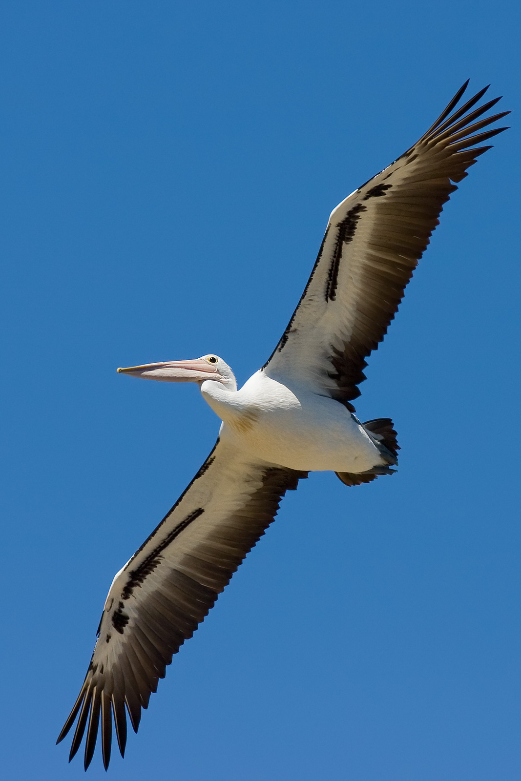 High Resolution Wallpaper | Pelican 1067x1600 px