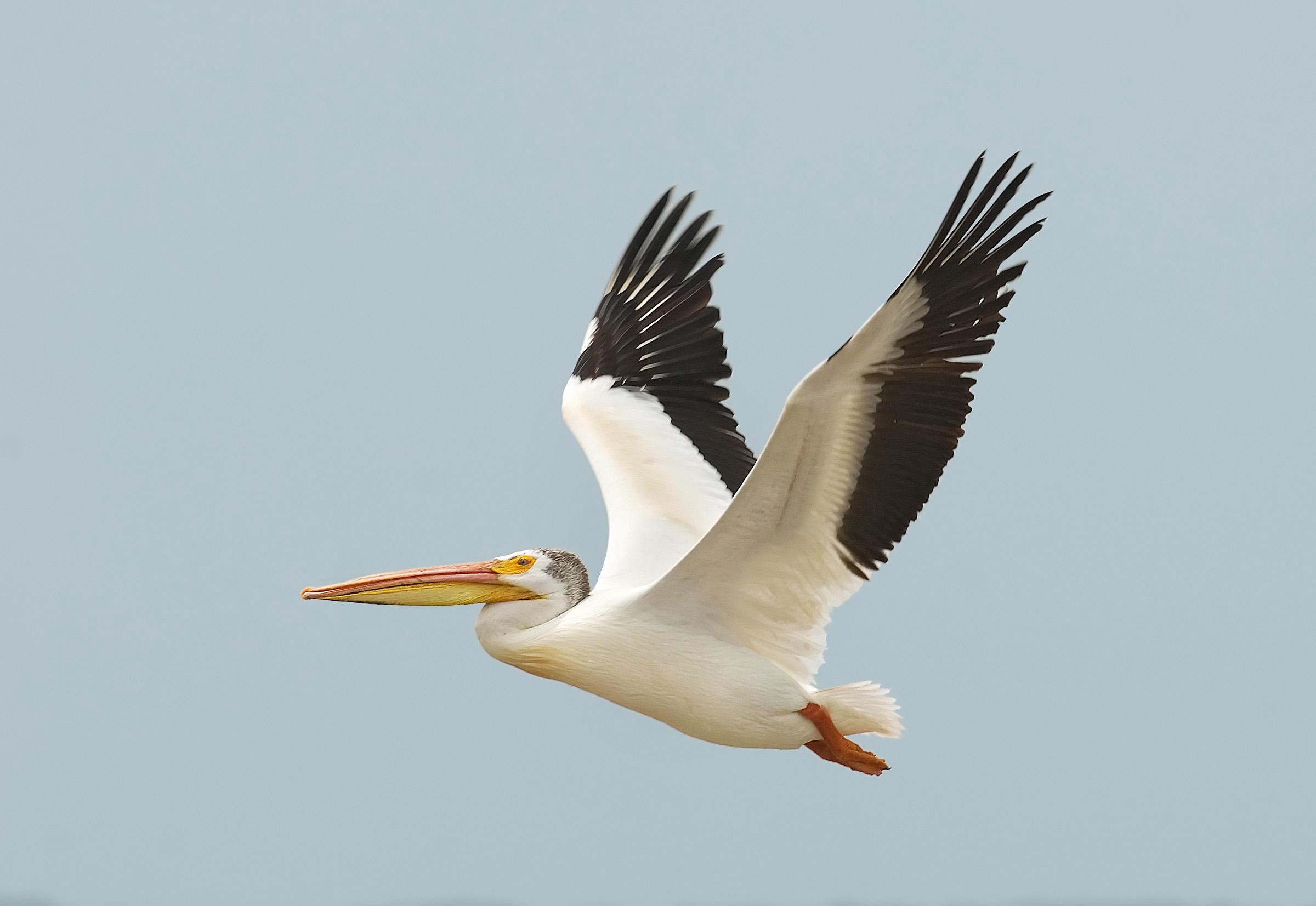 2400x1653 > Pelican Wallpapers