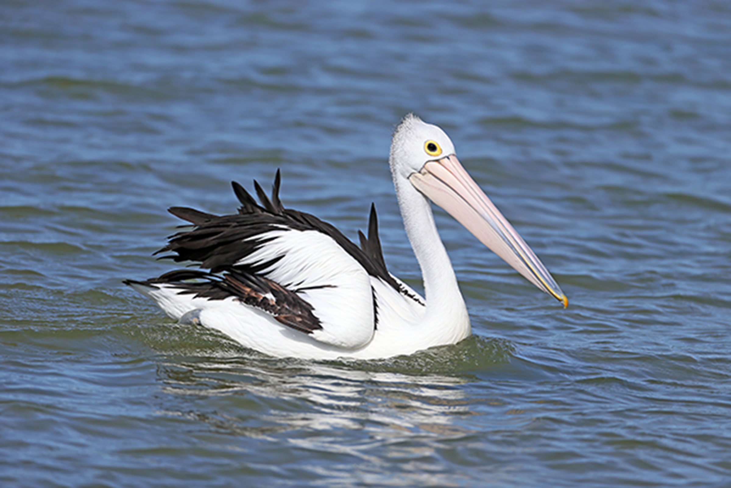 Pelican Backgrounds on Wallpapers Vista