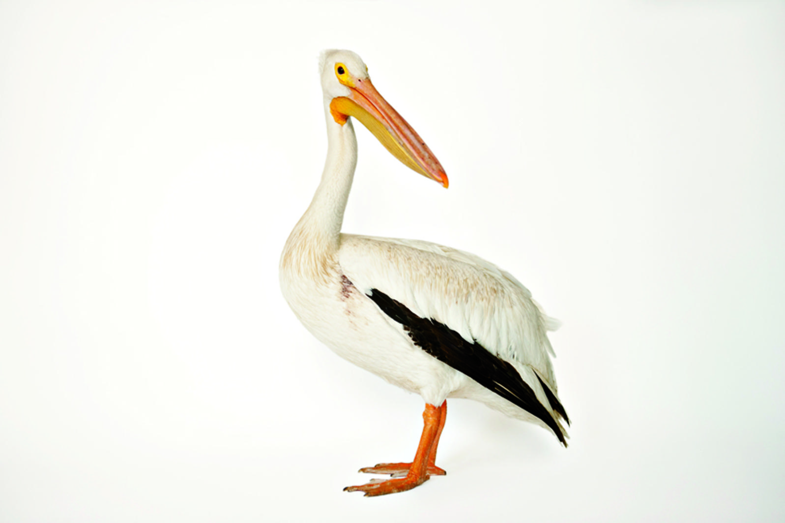 Pelican Pics, Animal Collection