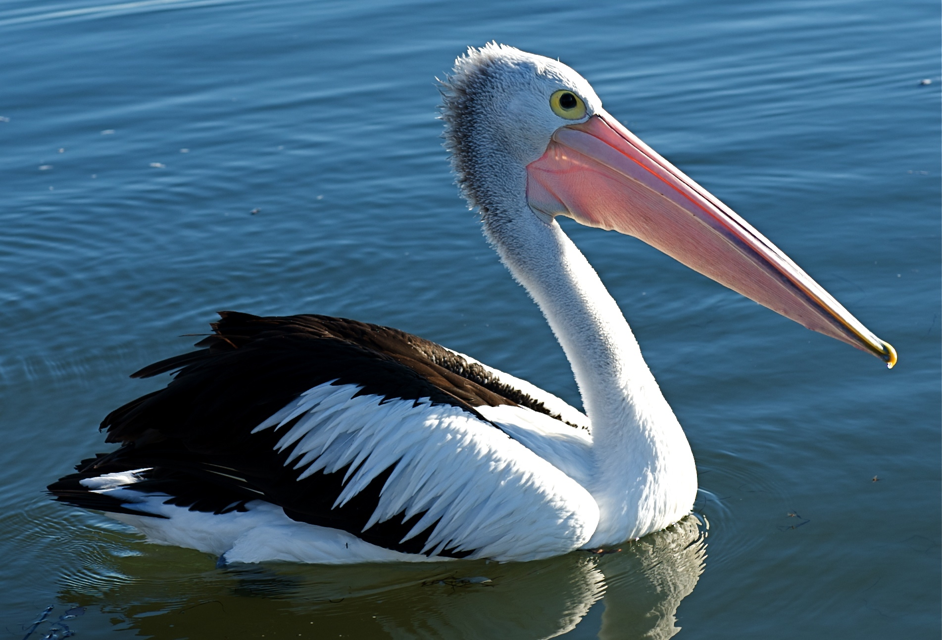 Amazing Pelican Pictures & Backgrounds
