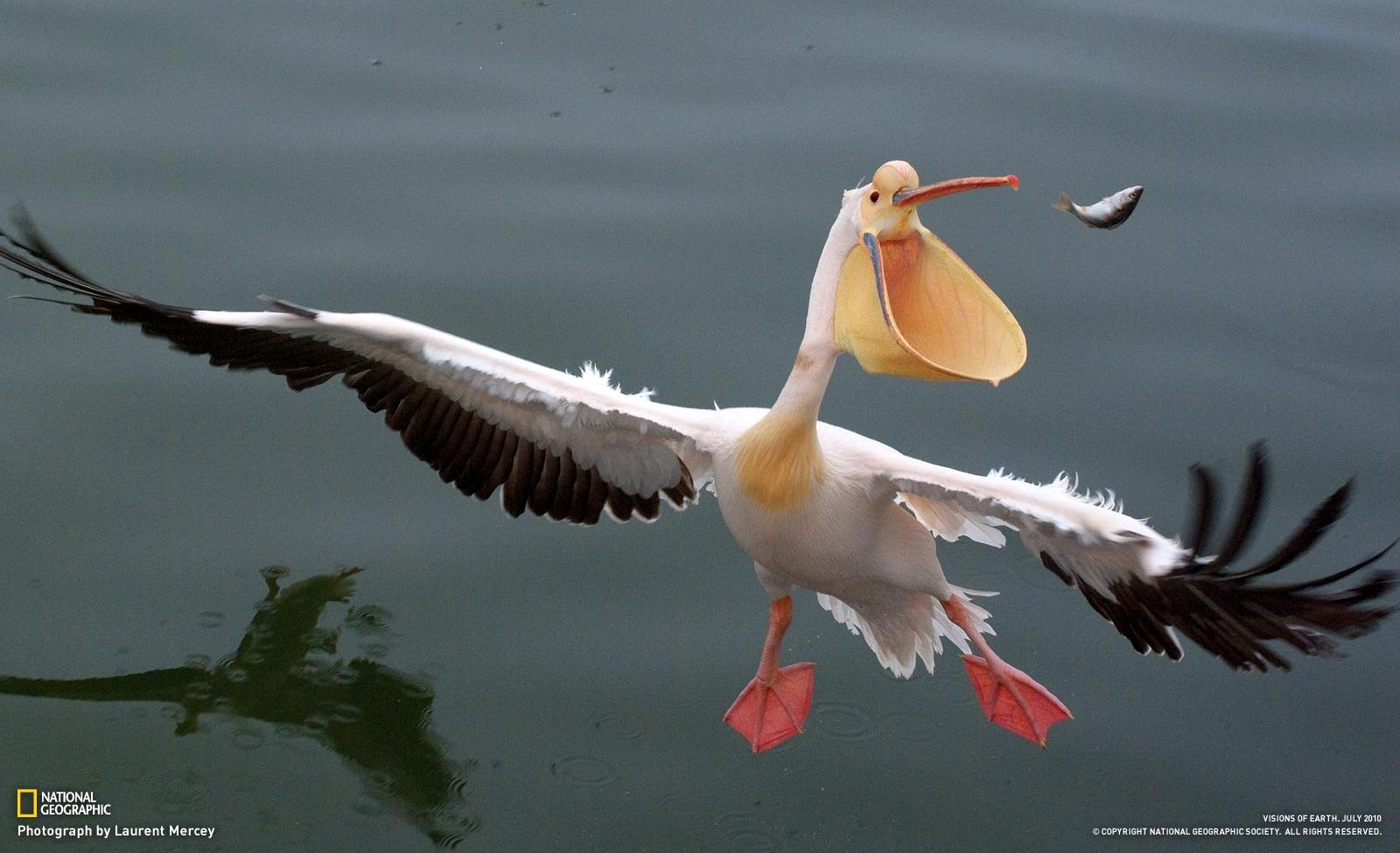 Pelican Pics, Music Collection