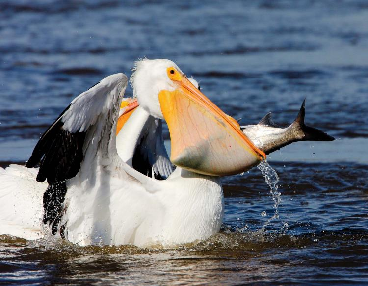 Images of Pelican | 750x583