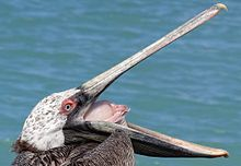 Images of Pelican | 220x152