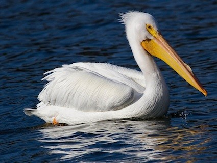 High Resolution Wallpaper | Pelican 425x320 px