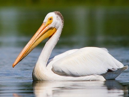 Images of Pelican | 425x320