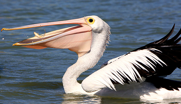 HD Quality Wallpaper | Collection: Animal, 710x408 Pelican