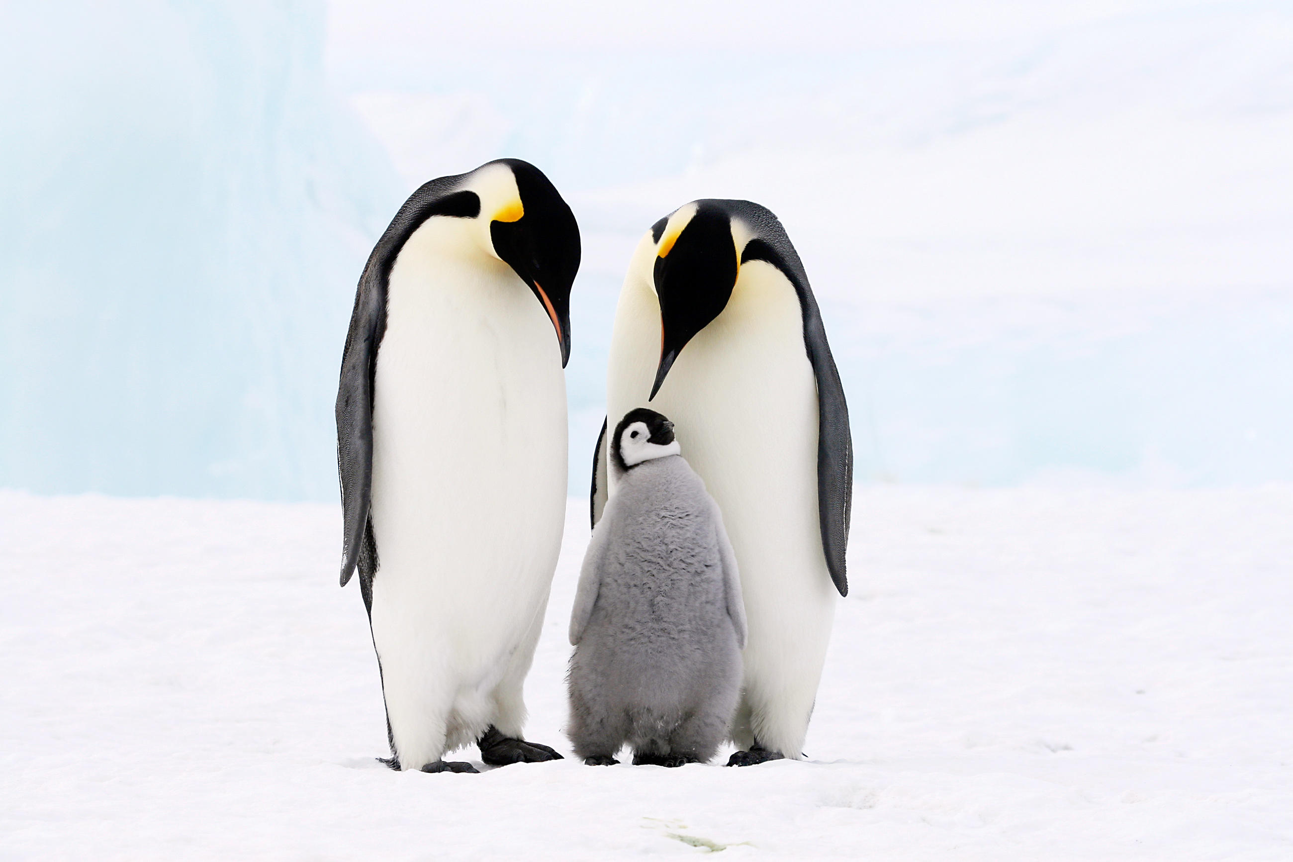 Penguin Backgrounds on Wallpapers Vista