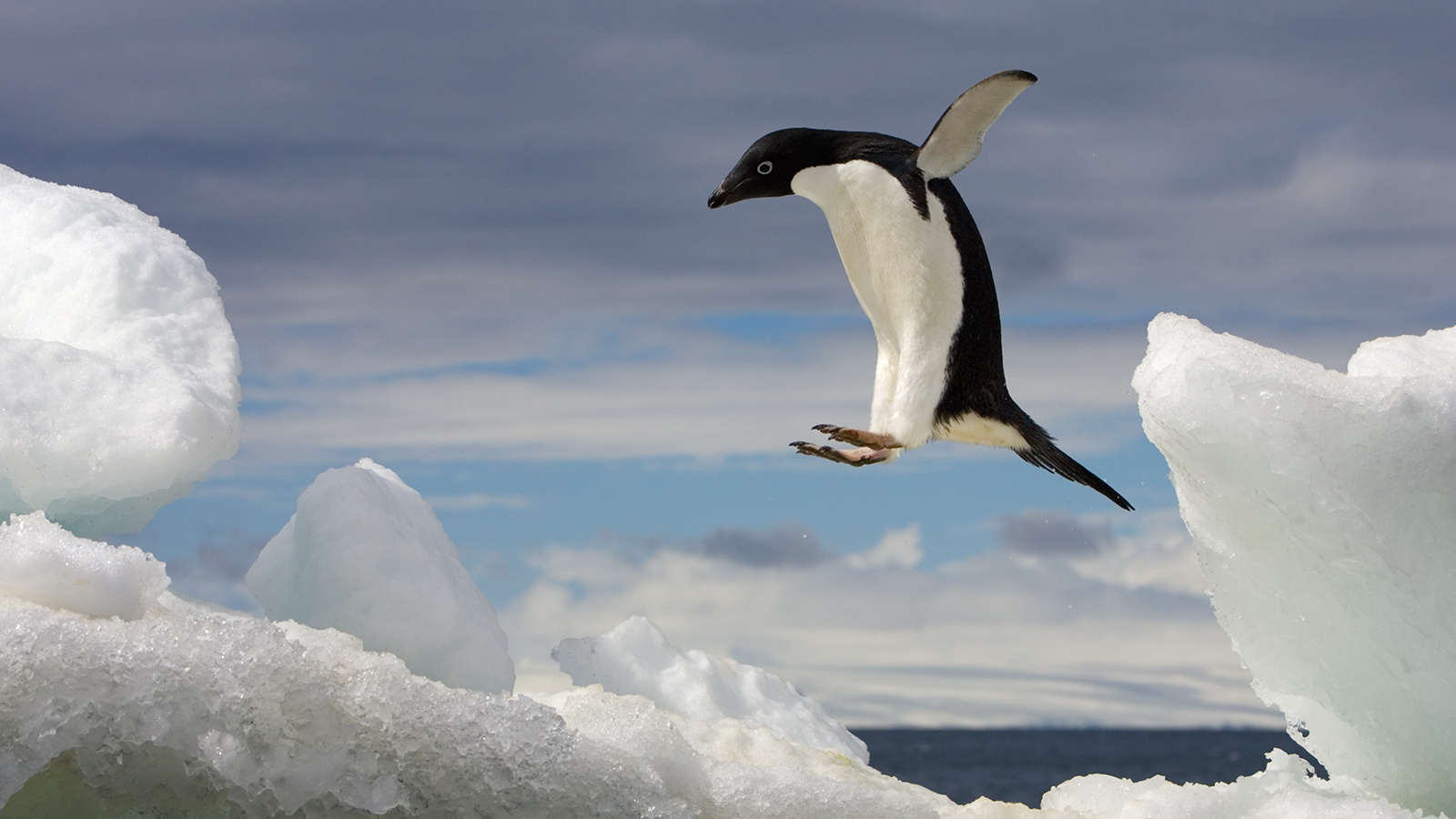 Nice wallpapers Penguin 1600x900px