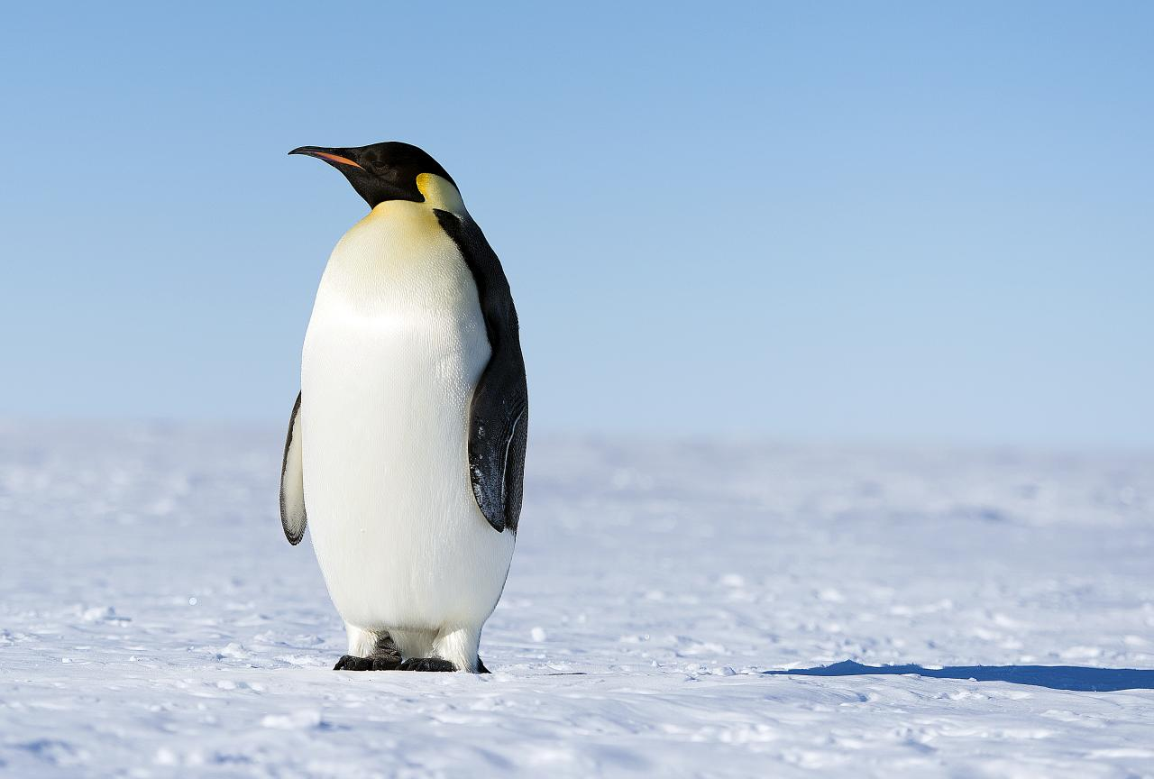 Penguin Backgrounds, Compatible - PC, Mobile, Gadgets| 1280x864 px
