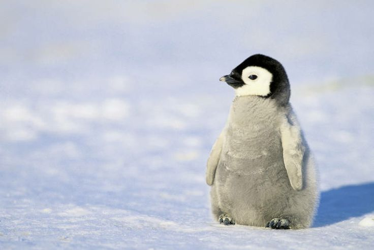 HQ Penguin Wallpapers | File 29.82Kb