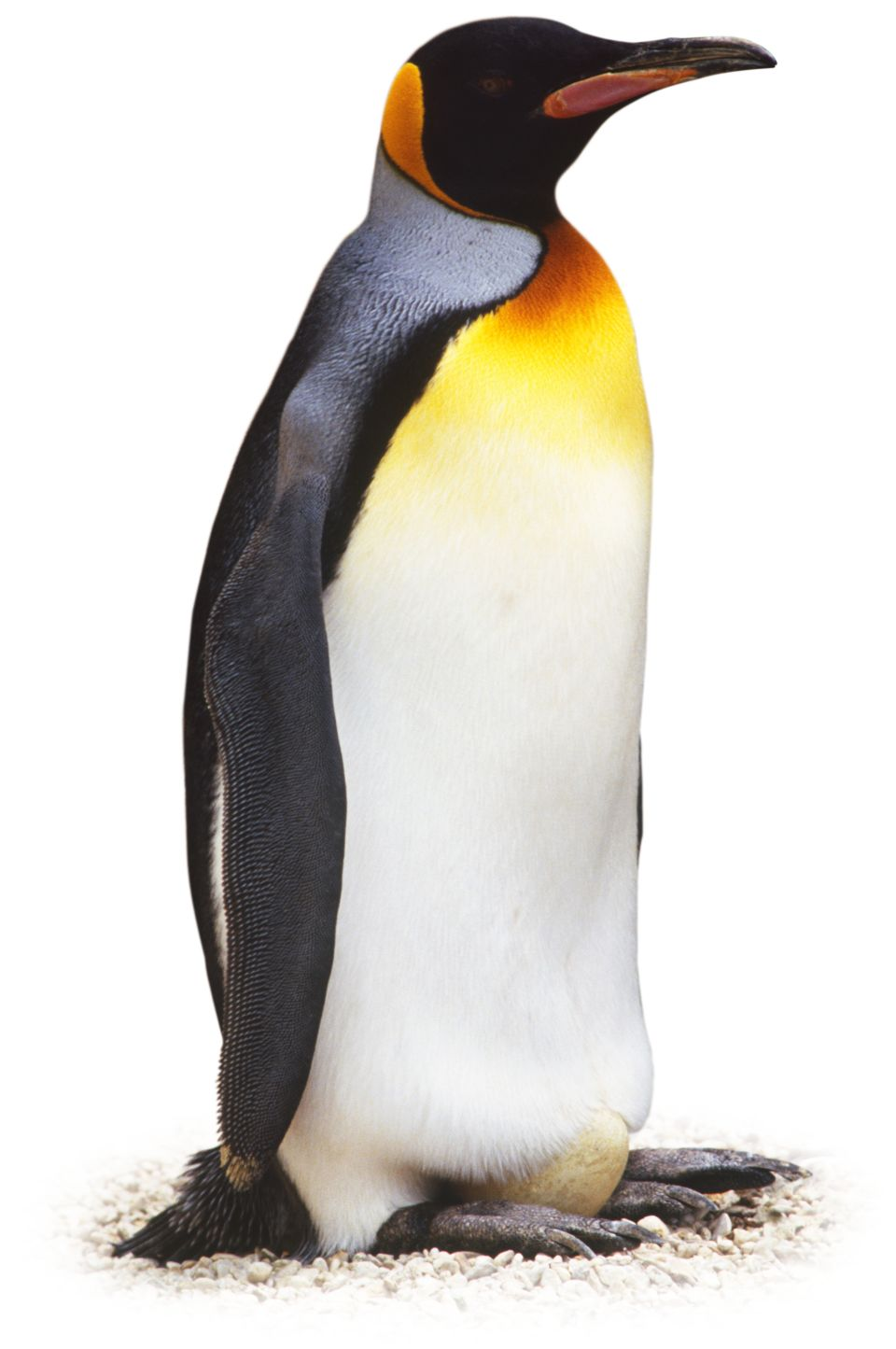 Images of Penguin | 960x1445