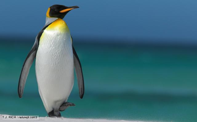 Penguin High Quality Background on Wallpapers Vista