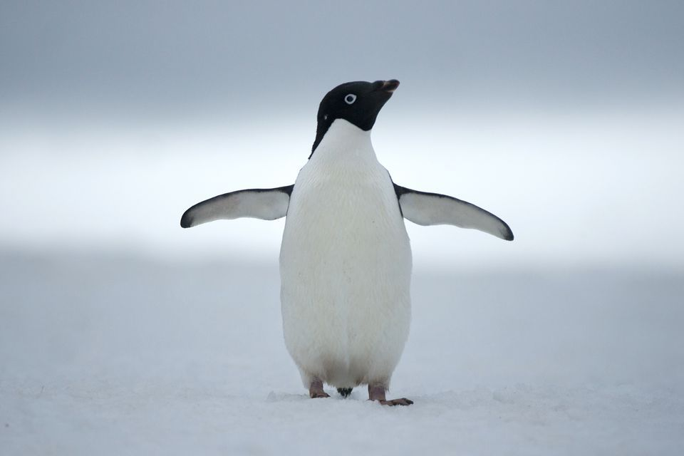 Penguin Backgrounds, Compatible - PC, Mobile, Gadgets| 960x640 px