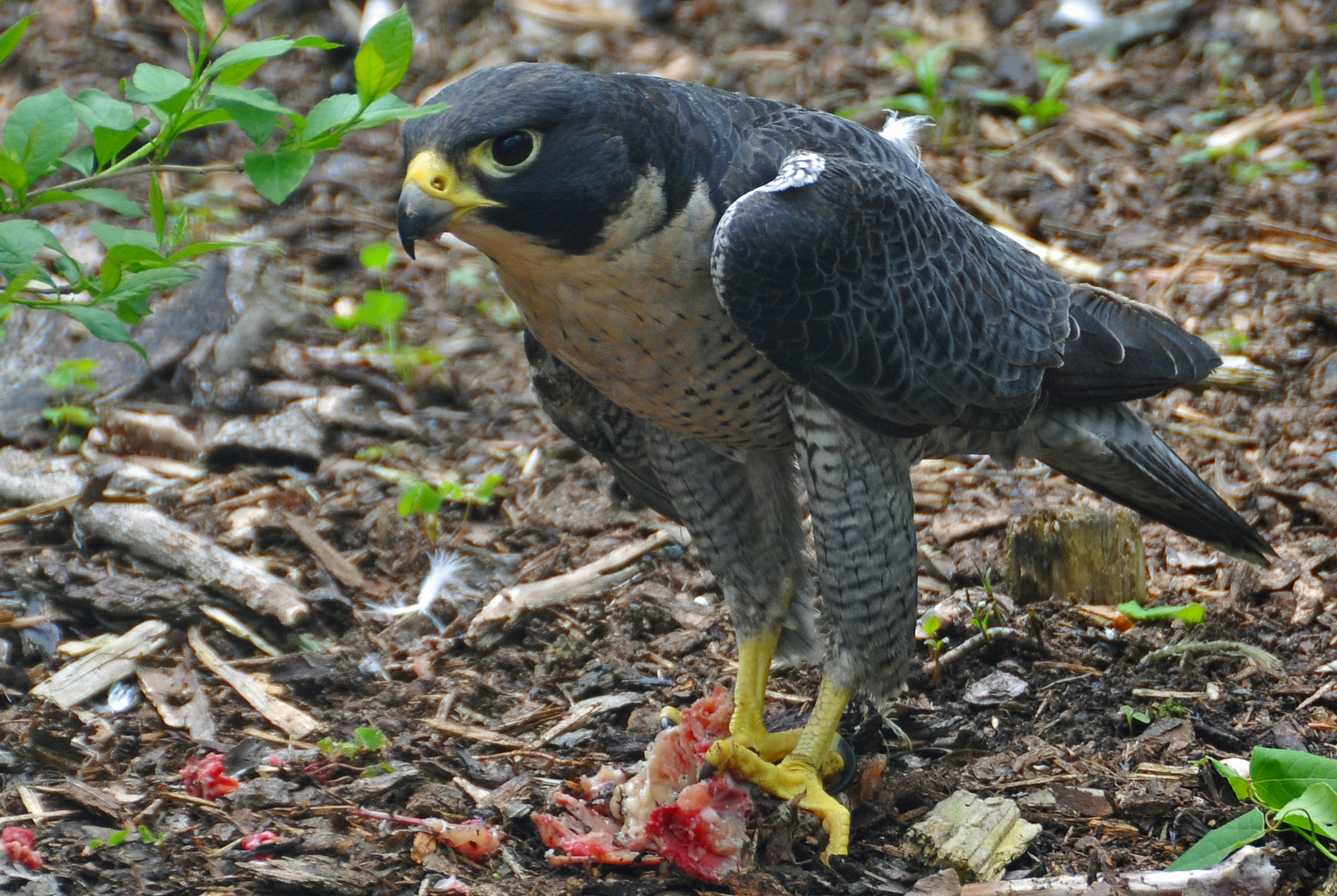 Nice wallpapers Peregrine Falcon 3887x2604px