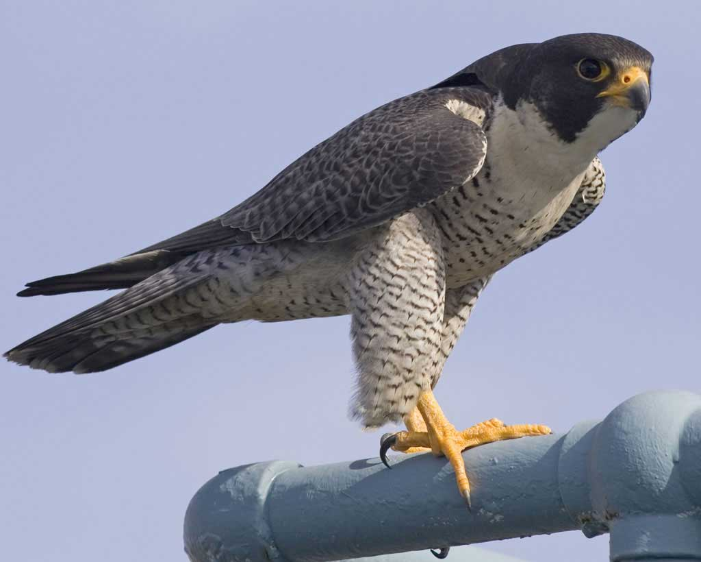Images of Peregrine Falcon | 1024x820