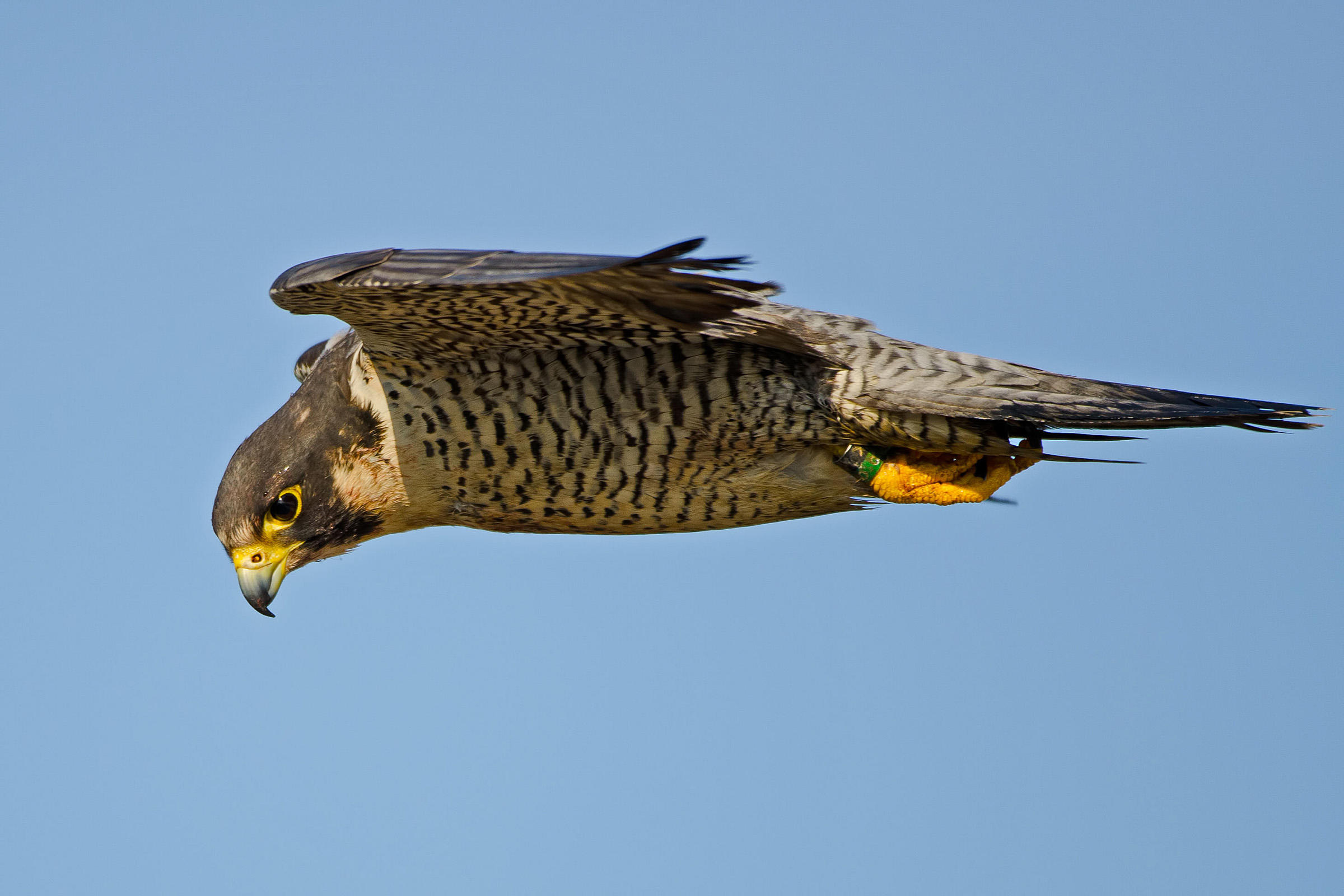 Peregrine Falcon Pics, Animal Collection
