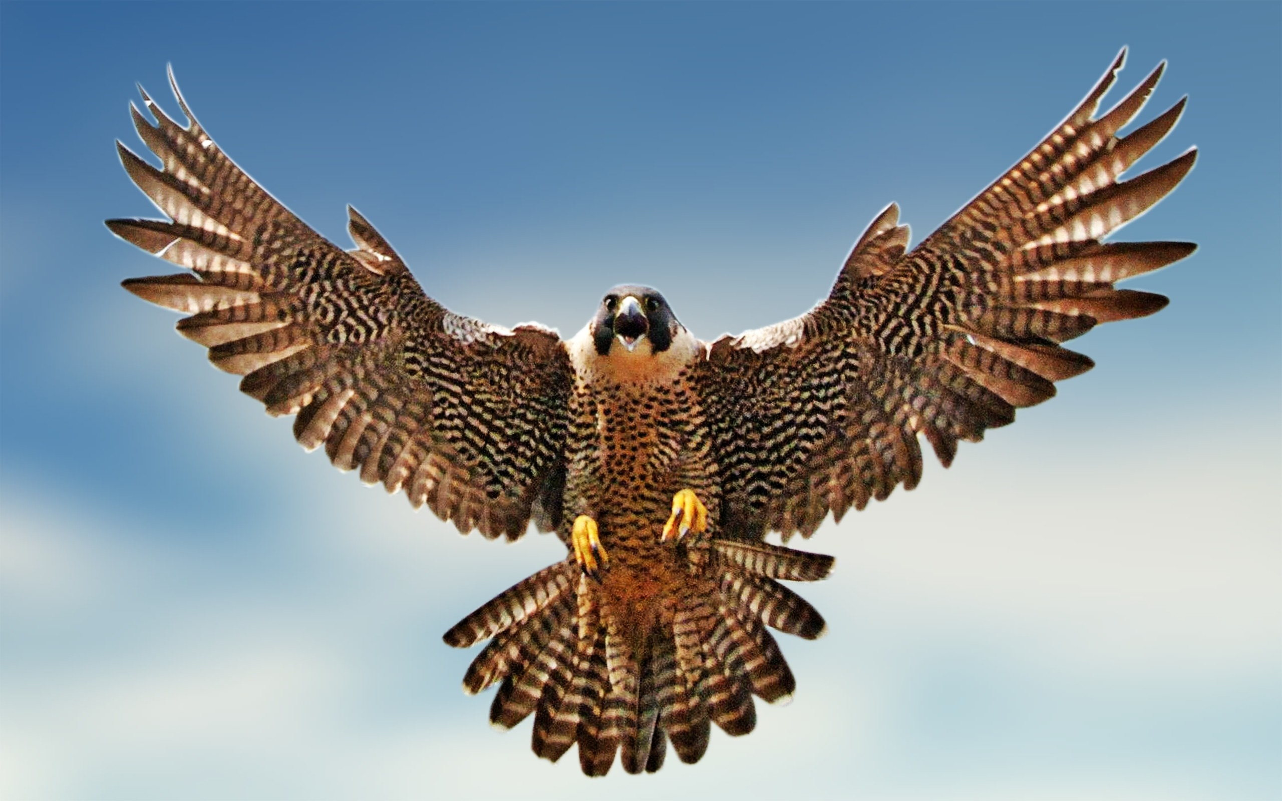 Peregrine Falcon High Quality Background on Wallpapers Vista