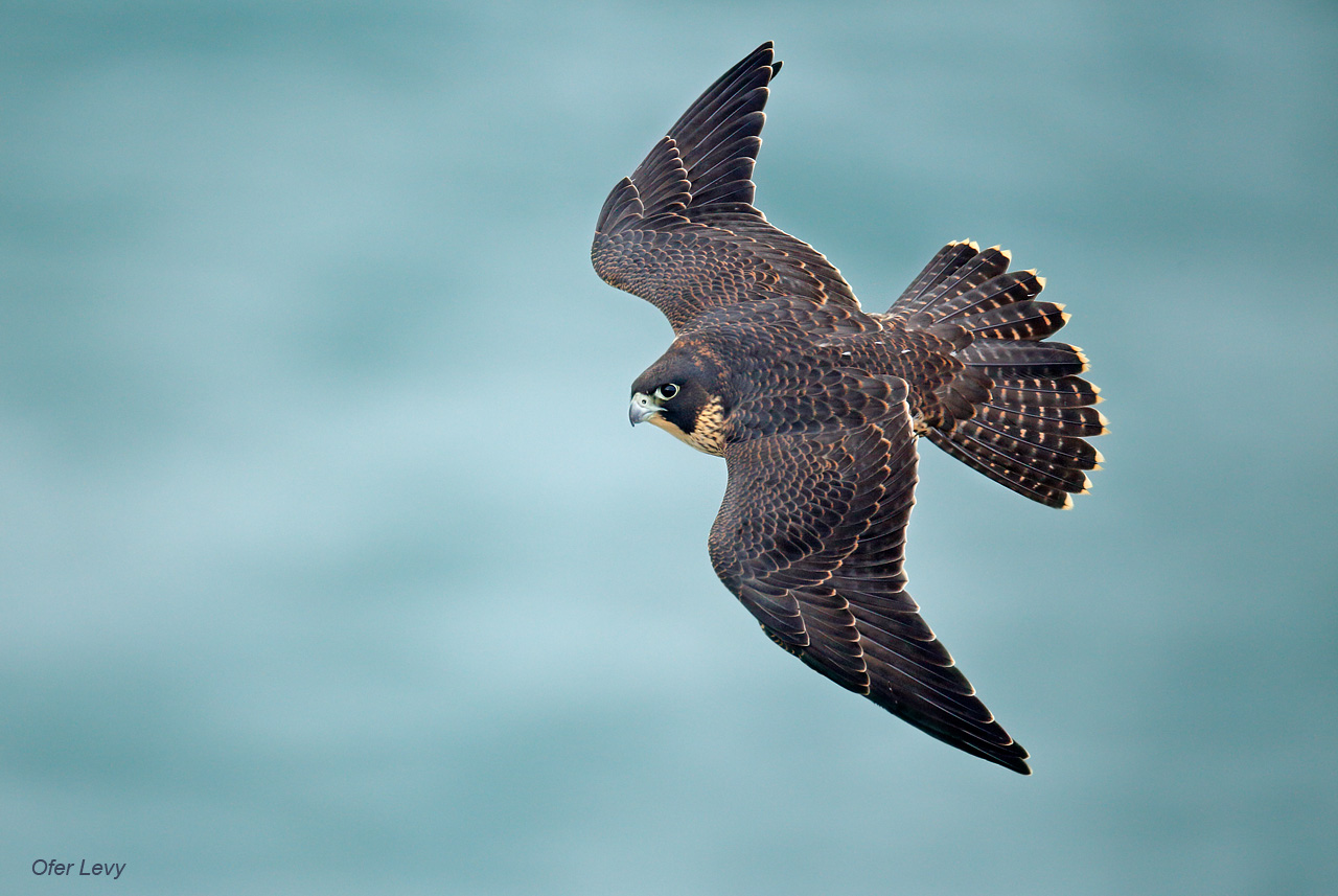 Amazing Peregrine Falcon Pictures & Backgrounds