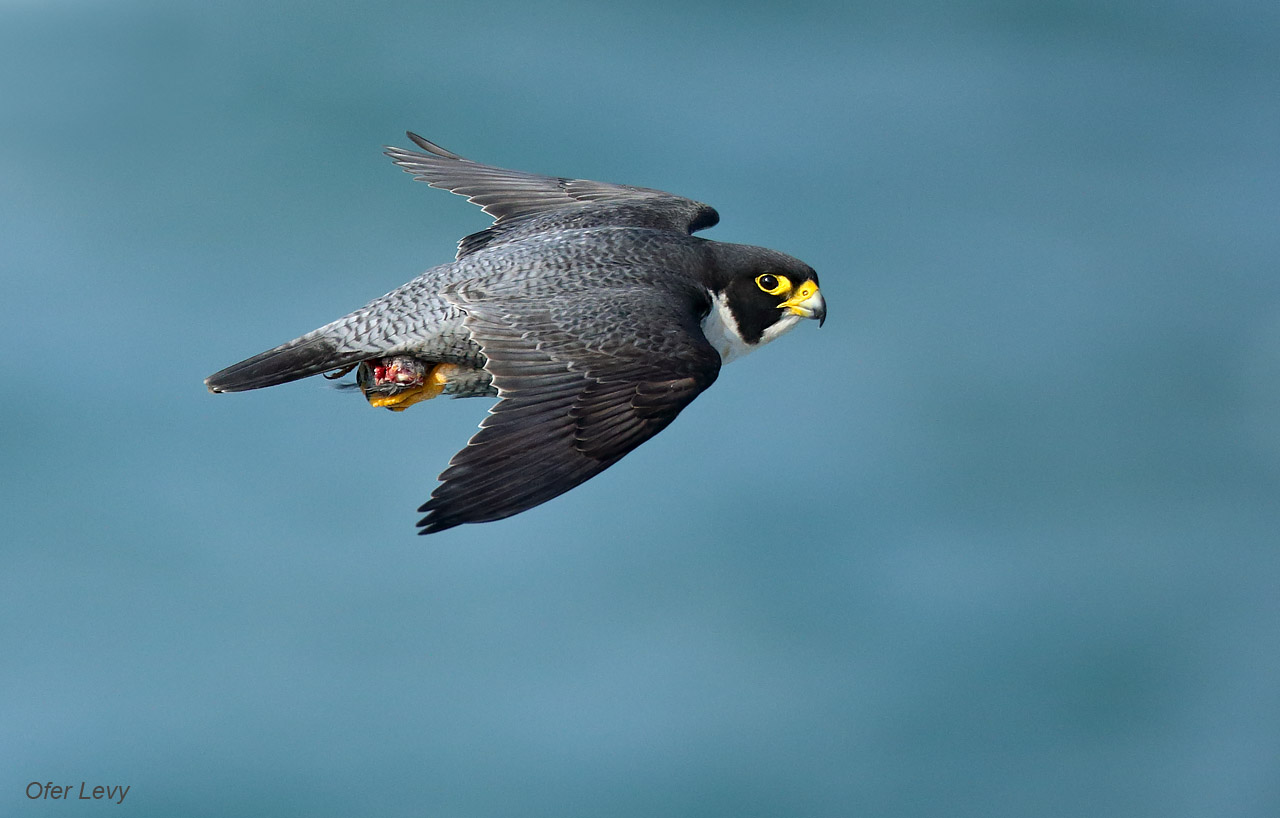 HD Quality Wallpaper | Collection: Animal, 1280x818 Peregrine Falcon