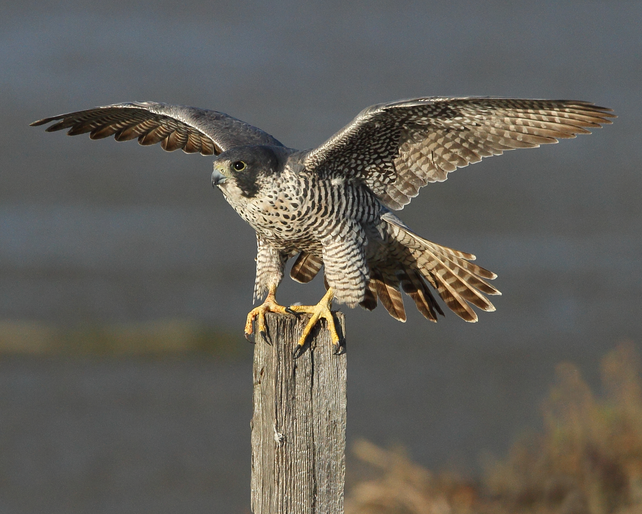 Nice wallpapers Peregrine Falcon 2470x1976px
