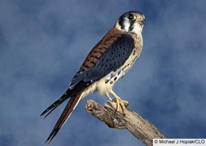 425x301 > Peregrine Falcon Wallpapers