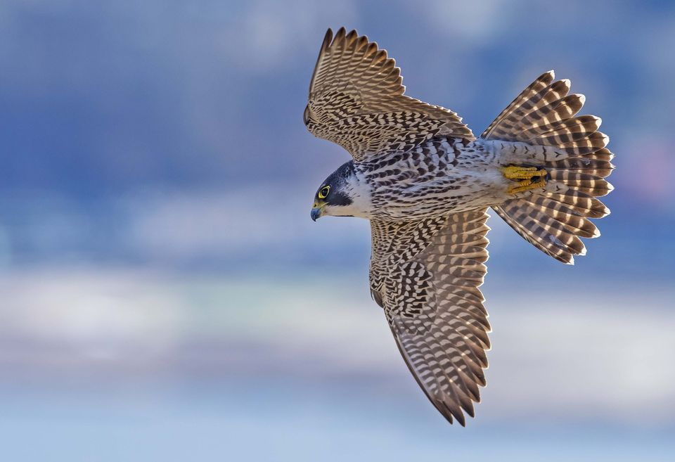 960x657 > Peregrine Falcon Wallpapers