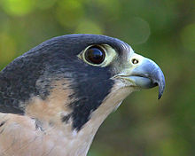 Nice wallpapers Peregrine Falcon 220x176px