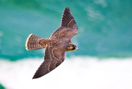 Nice wallpapers Peregrine Falcon 425x288px