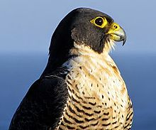 Nice wallpapers Peregrine Falcon 220x183px
