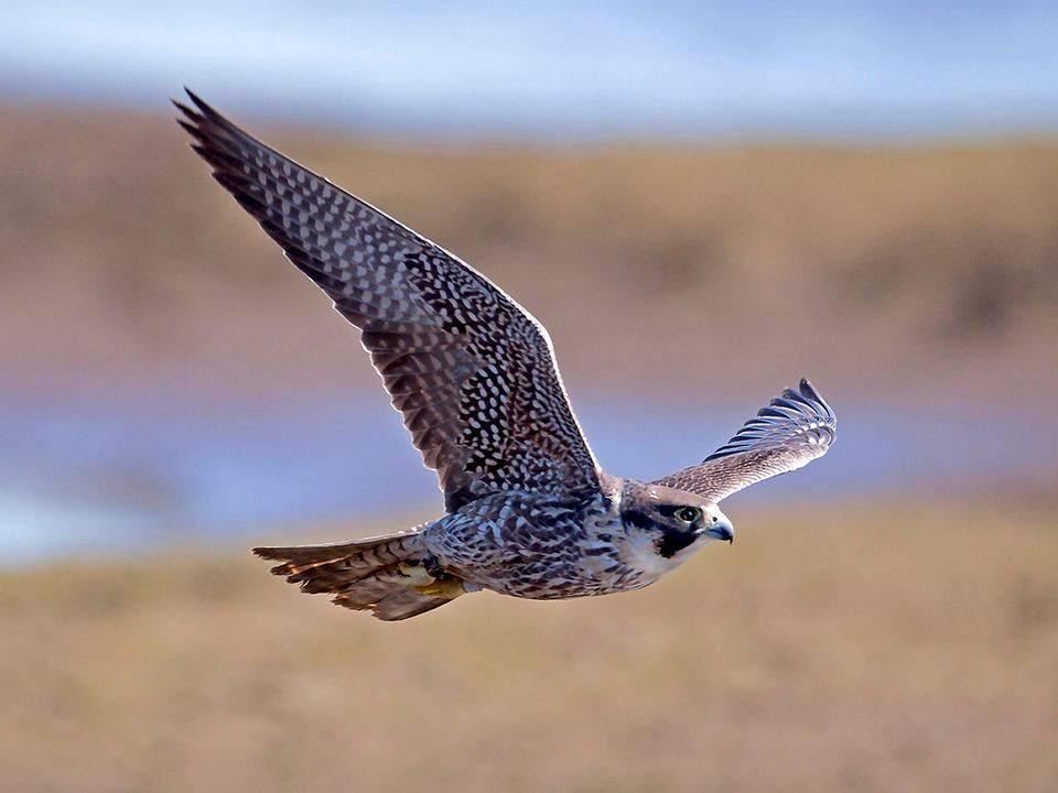HQ Peregrine Falcon Wallpapers | File 54.95Kb