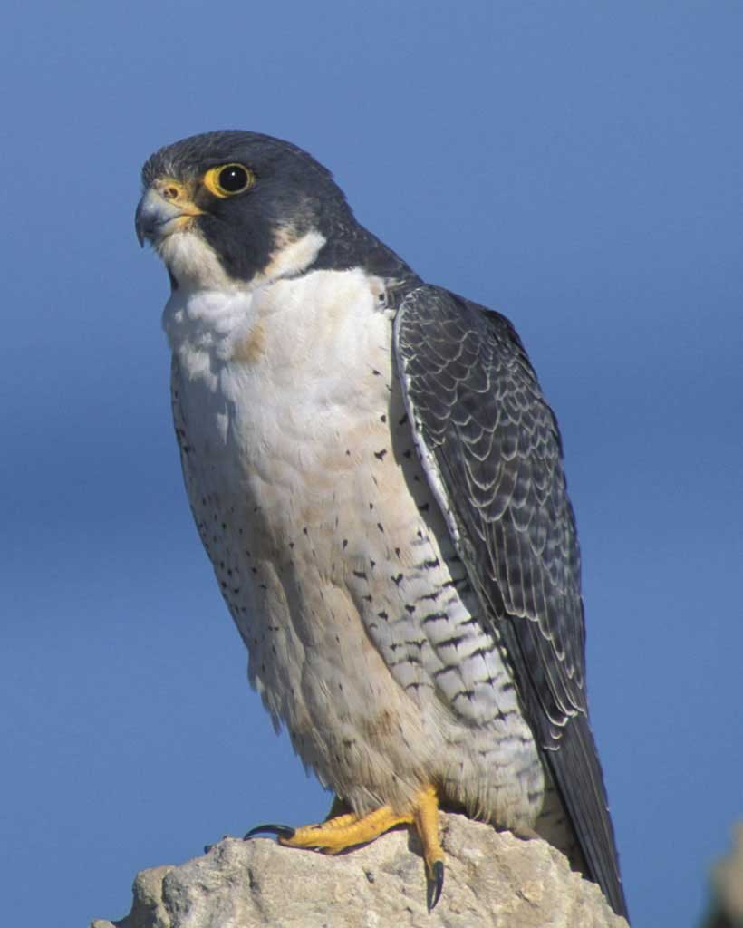 820x1024 > Peregrine Falcon Wallpapers