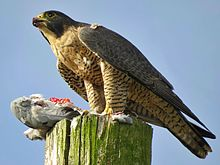 Peregrine Falcon Backgrounds, Compatible - PC, Mobile, Gadgets| 220x165 px