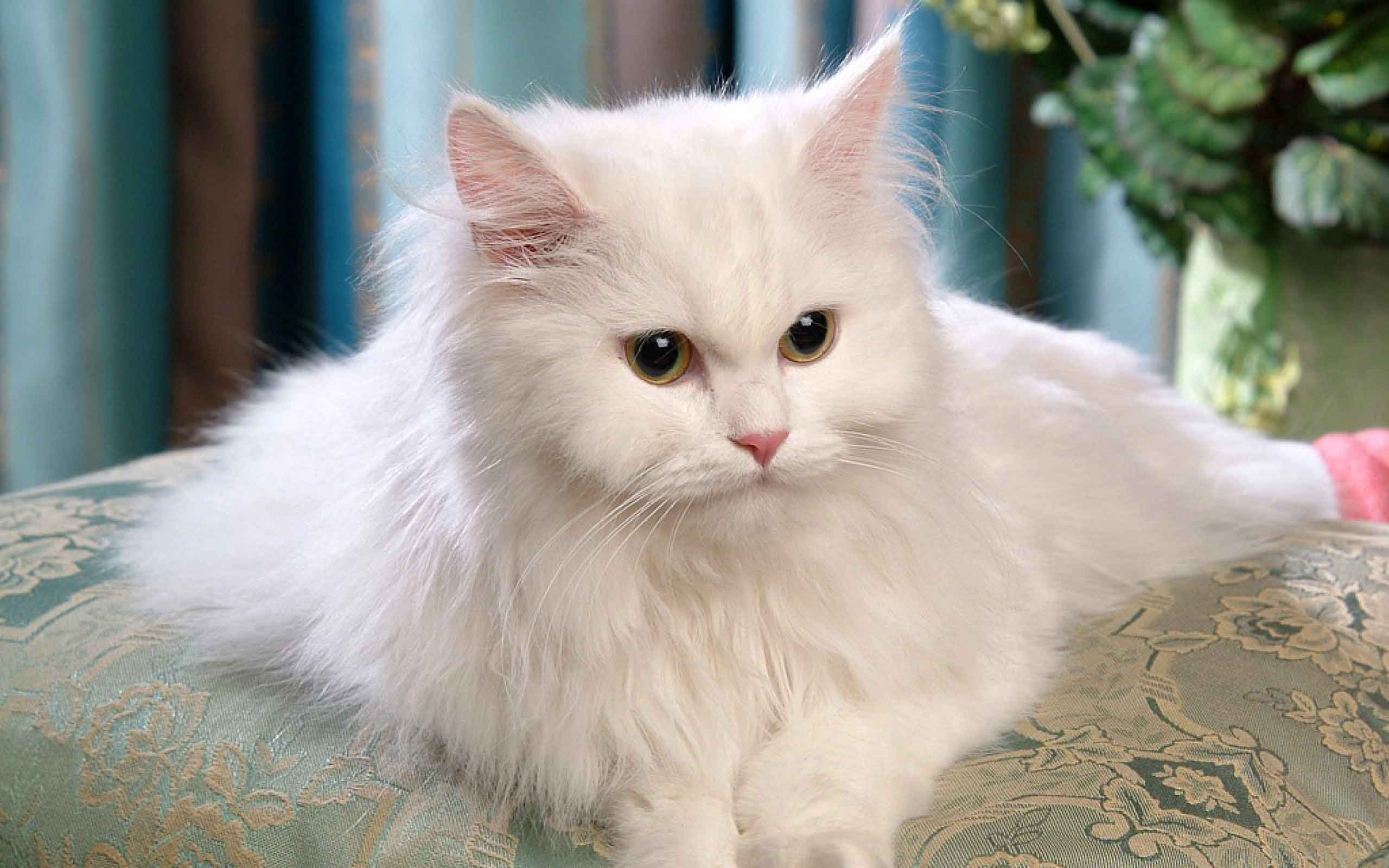 Persian Cat Backgrounds on Wallpapers Vista