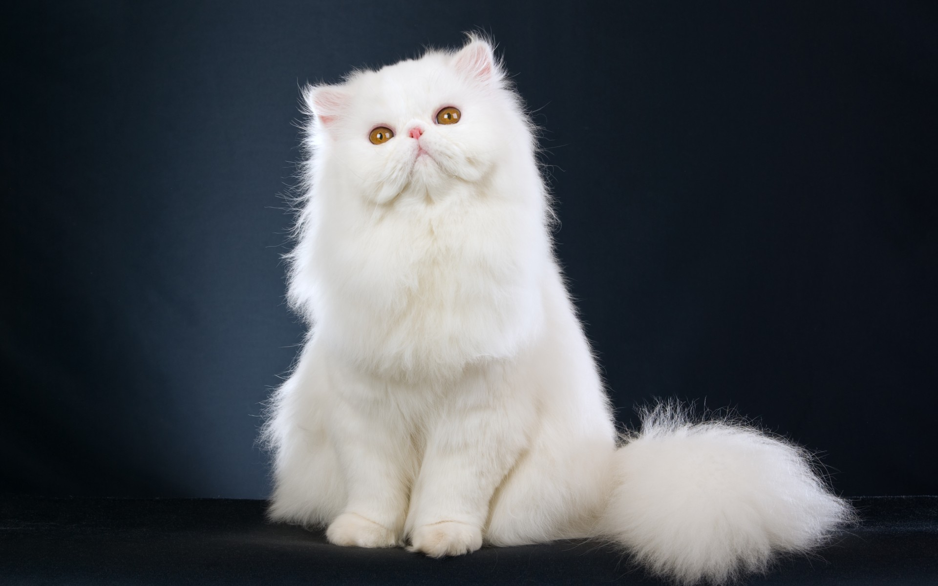 Persian Cat High Quality Background on Wallpapers Vista