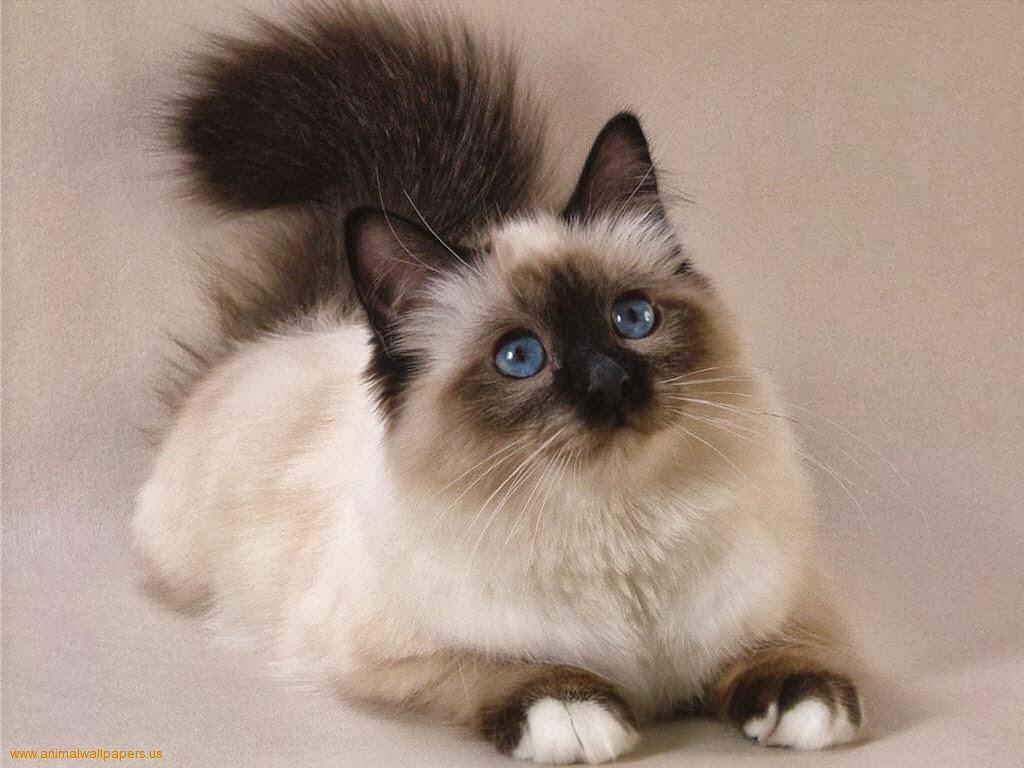 HQ Persian Cat Wallpapers | File 77.23Kb