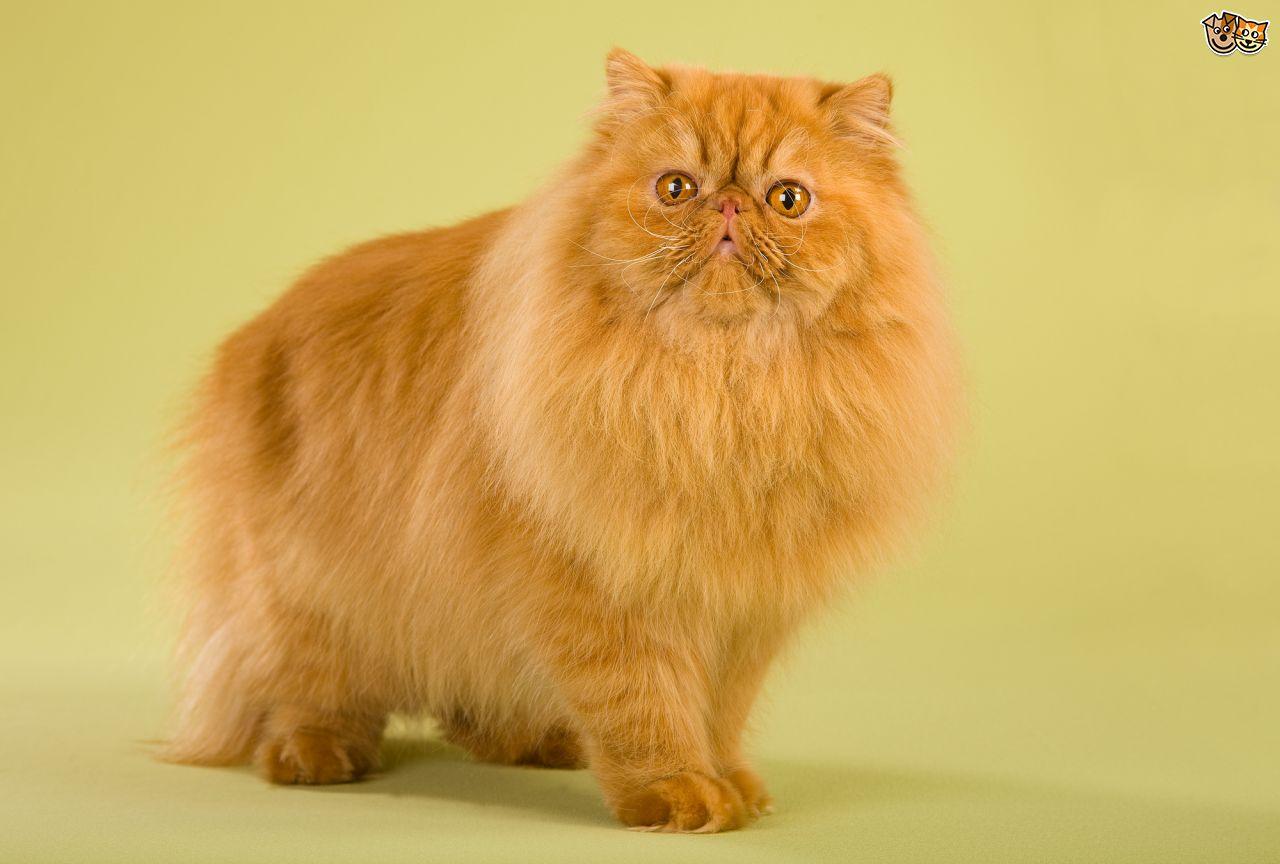 HQ Persian Cat Wallpapers | File 91.76Kb