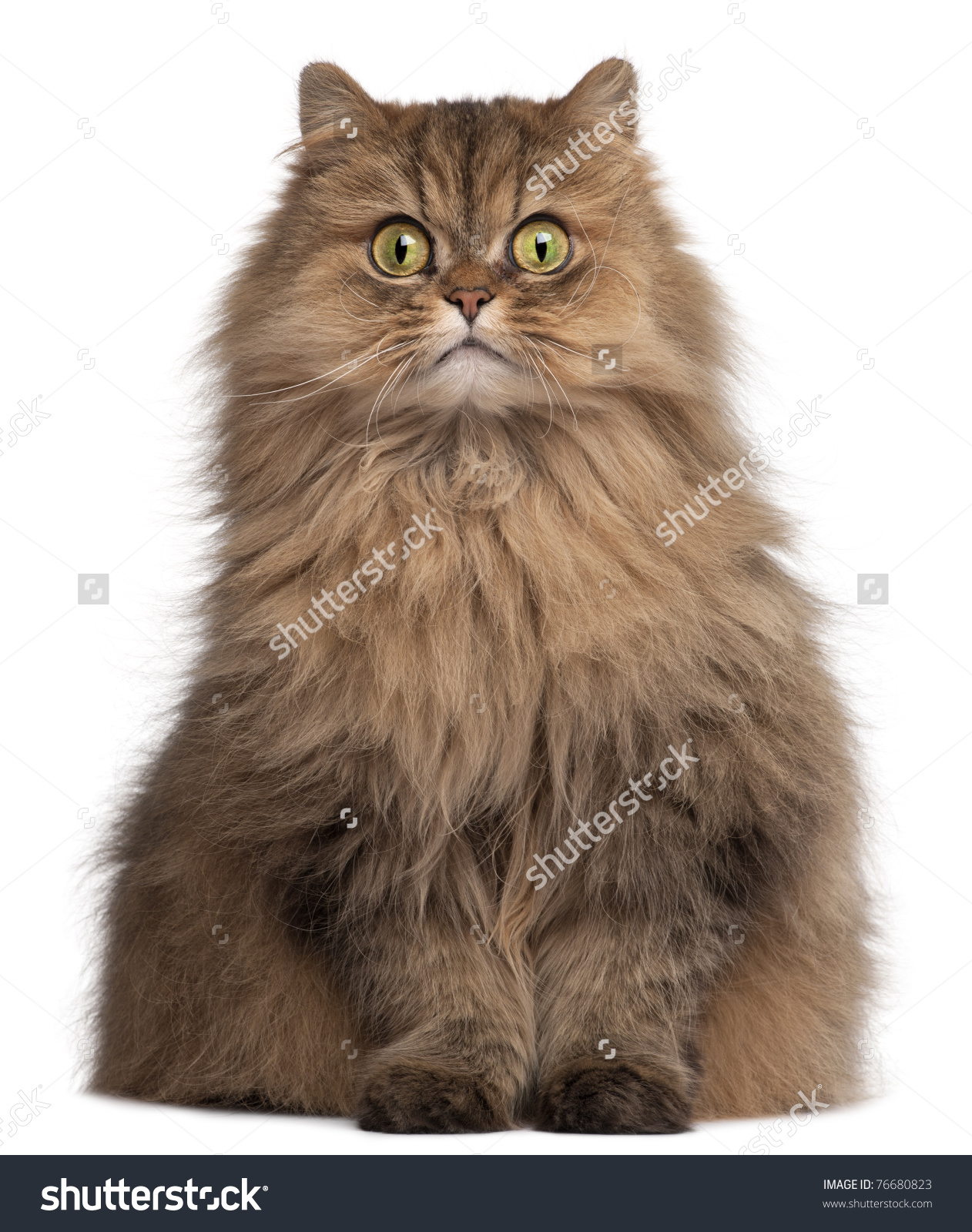 Nice wallpapers Persian Cat 1262x1600px