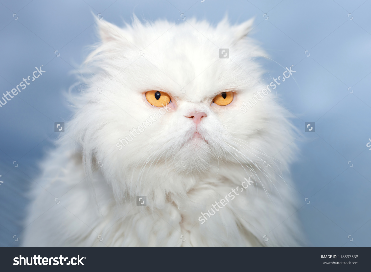 HD Quality Wallpaper | Collection: Animal, 1500x1100 Persian Cat