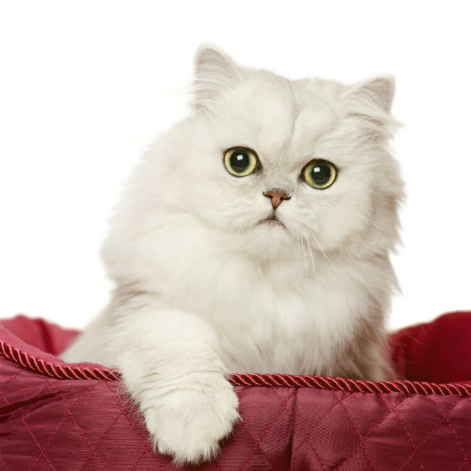 Persian Cat Backgrounds, Compatible - PC, Mobile, Gadgets| 680x680 px
