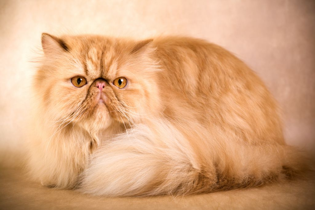 Persian Cat Backgrounds, Compatible - PC, Mobile, Gadgets| 1024x682 px