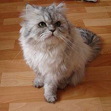 Persian Cat Pics, Animal Collection