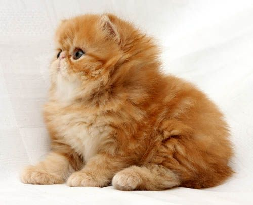 Nice wallpapers Persian Cat 500x407px
