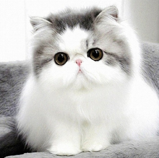 Nice wallpapers Persian Cat 642x641px