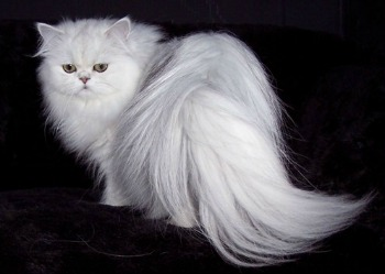 Nice Images Collection: Persian Cat Desktop Wallpapers