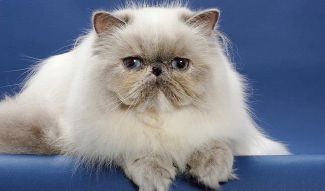 Nice wallpapers Persian Cat 645x380px
