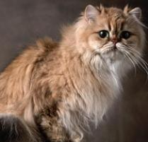 Amazing Persian Cat Pictures & Backgrounds