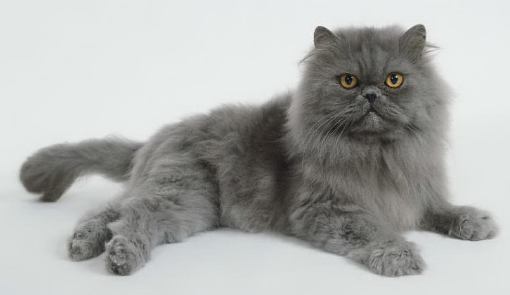 Persian Cat Pics, Animal Collection